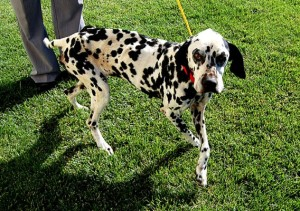 Dalmatian survives near starvation